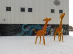 Giraffes in the snow! (W21)