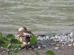 Ducks on Ship Creek