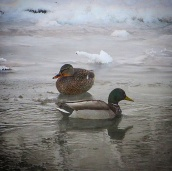 Ducks on Ship Creek in Anchorage