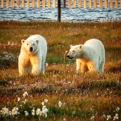 Bears on Barter Island