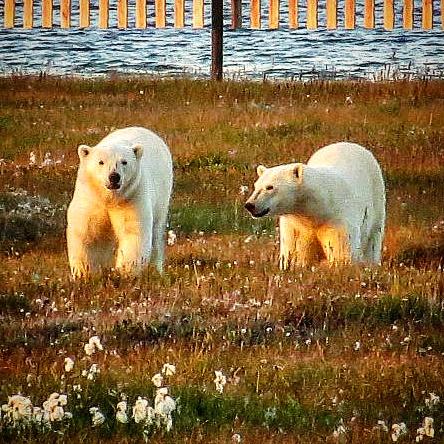 Bears on Barter Island