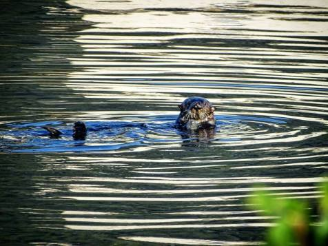 Beware! When touristing, take care not to become the tourist attraction yourself. When staring at the otter, the otter stares back at you.
