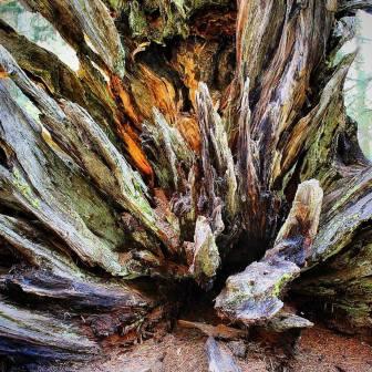 Stump in Sequoia