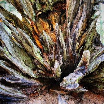 Stump in Sequoia